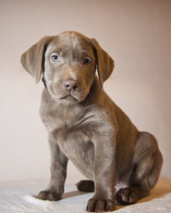 Some would like to see silver labs or grey labs banned