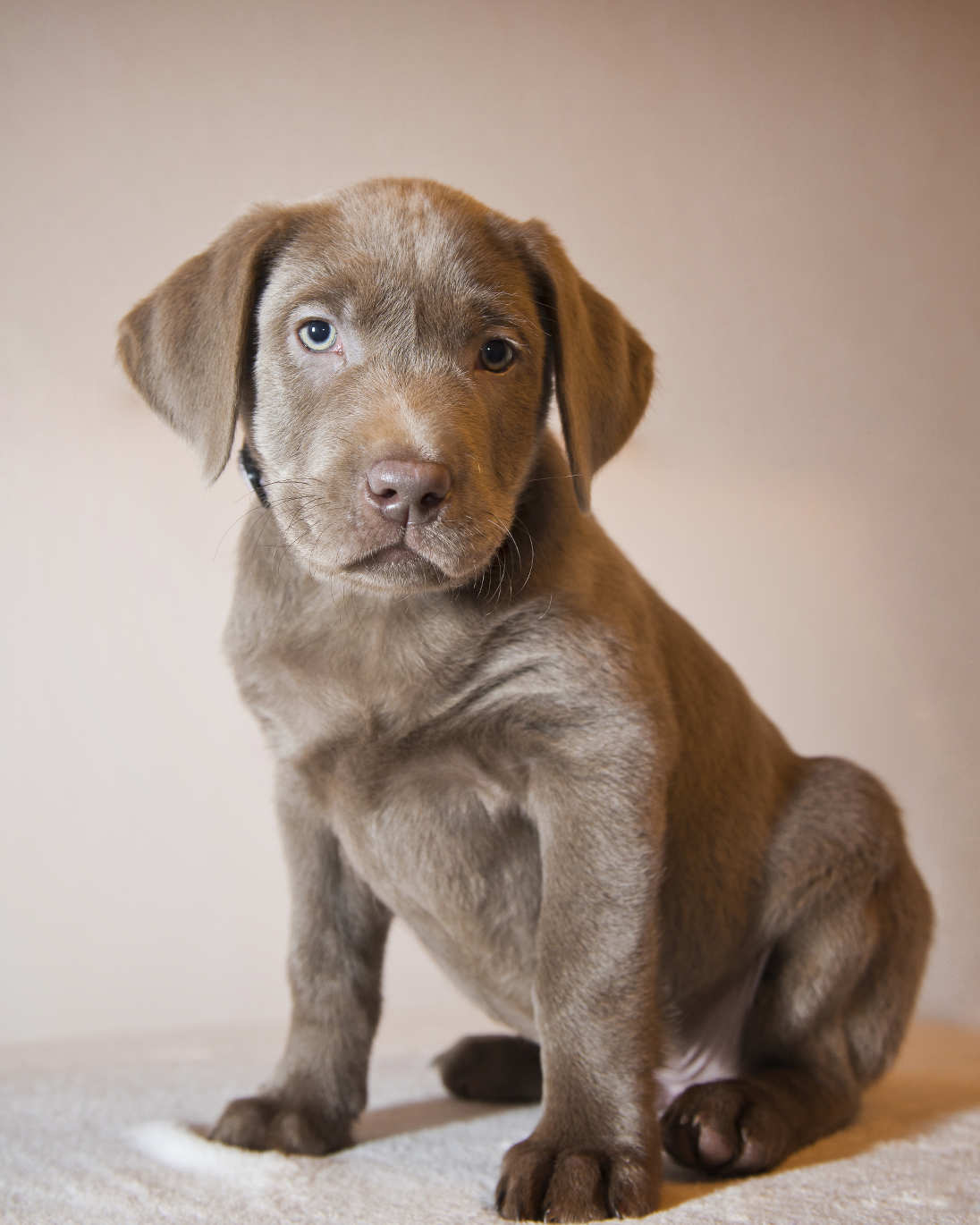 Buy silver labrador retriever