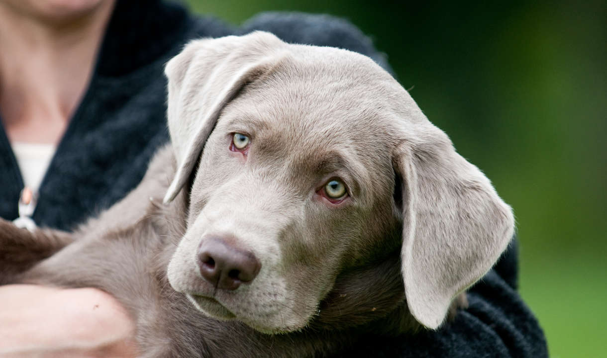 American and English Labrador Retrievers are both of them able to be AKC papered?