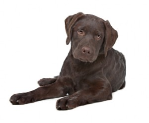 Chocolate Labrador Training