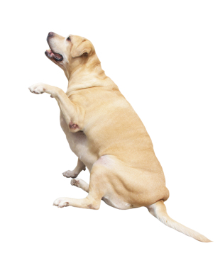 Labrador weight