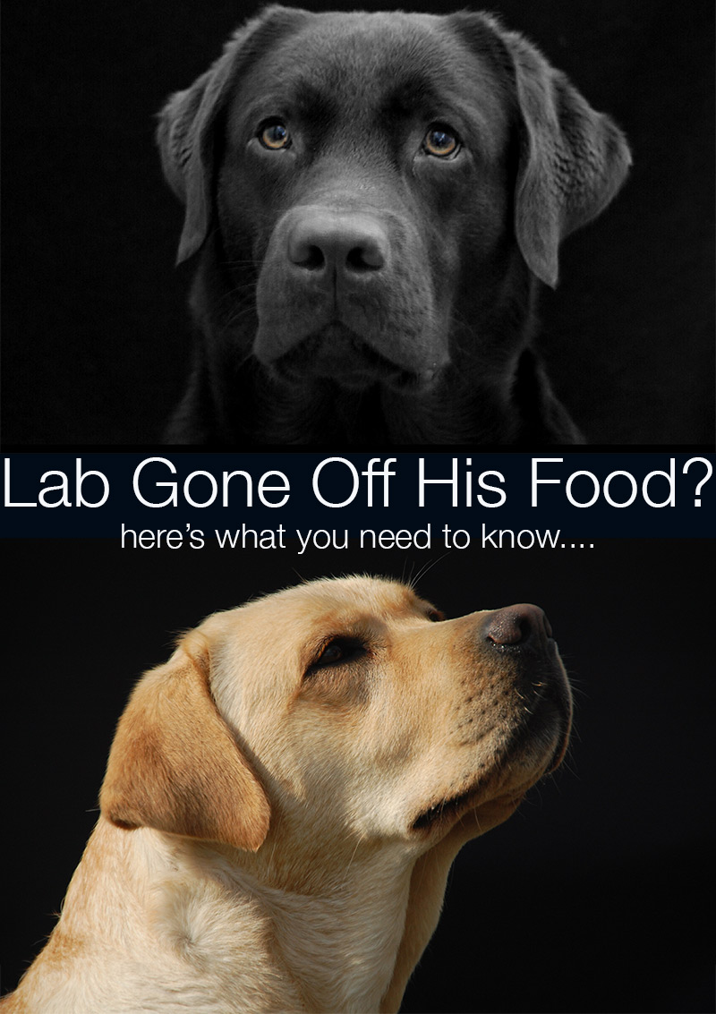 My Labrador Won 39 T Eat His Food Any More