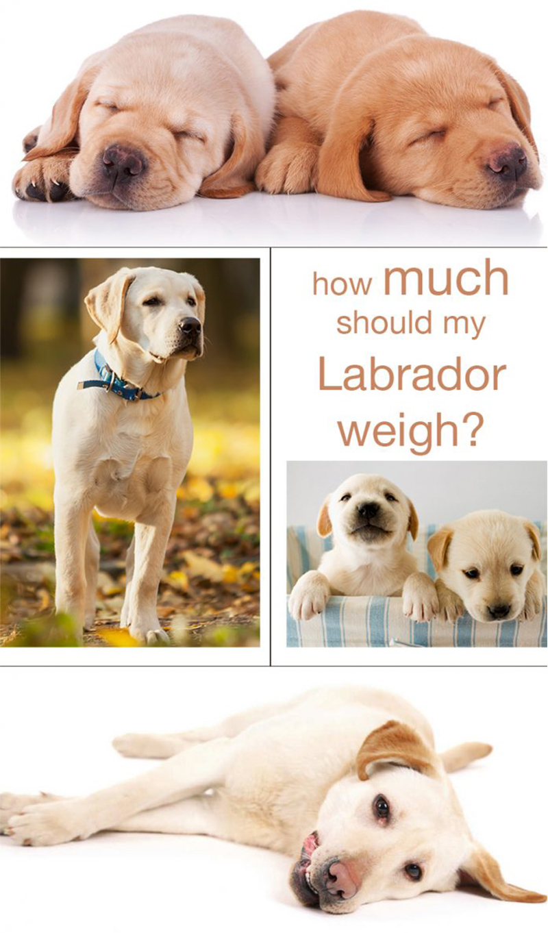 Average weight of female labrador retriever