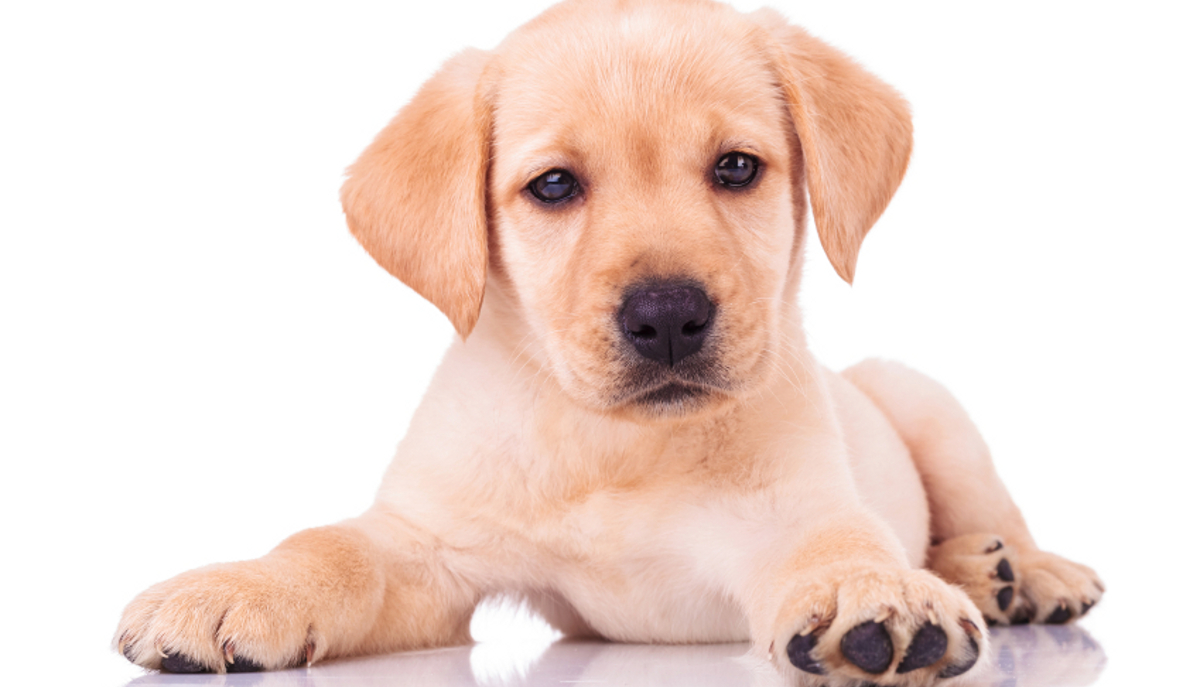 What S The Best Dog Food For A Labrador