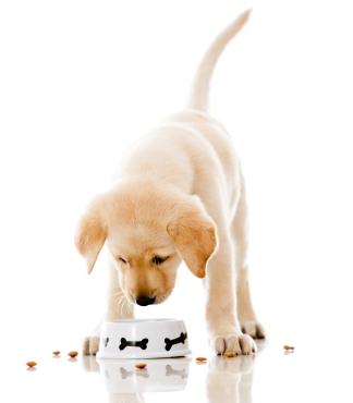 Labrador Puppy Feeding Faq The Labrador Site