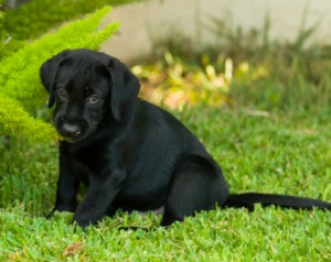 9 week labrador faq