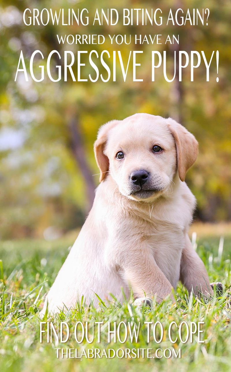 Aggressive puppy - signs, symptoms and how to get help