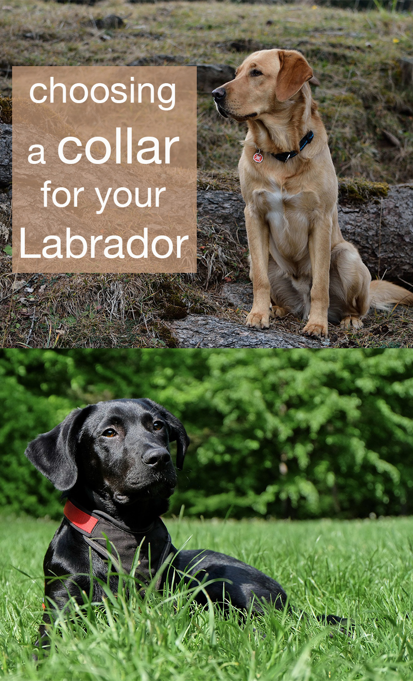 labrador collar sizes and styles