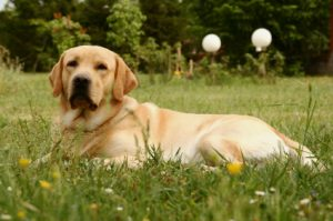 Labrador proofing your garden