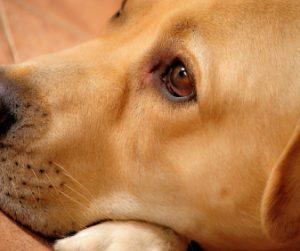 Labrador vision eyesight