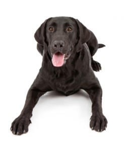six tips for training your labrador with food