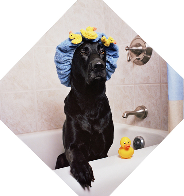 Bathing And Grooming Your Labrador