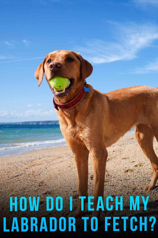 How Do I Teach My Labrador To Fetch?