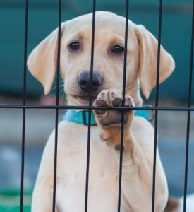 your labrador - crates and crate training