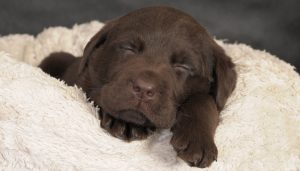 Beds and bedding for Labrador puppies