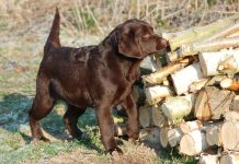 chocolate lab puppy by woodpile