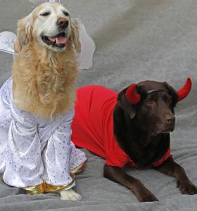 Engel und Teufel (Golden Retriever und Labrador)