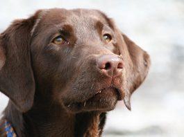 Why do dogs eat poop - an investigation into coprophagia in dogs
