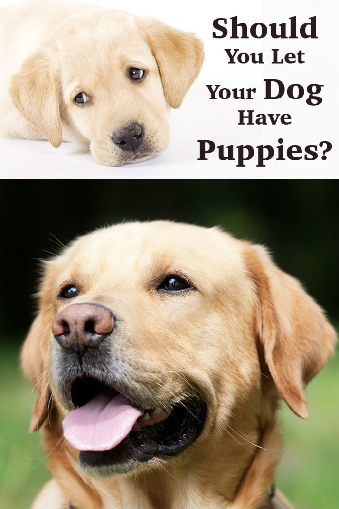 How old should your dog be before breeding? How many puppies do Labradors have? And should you be breeding from your dog at all?