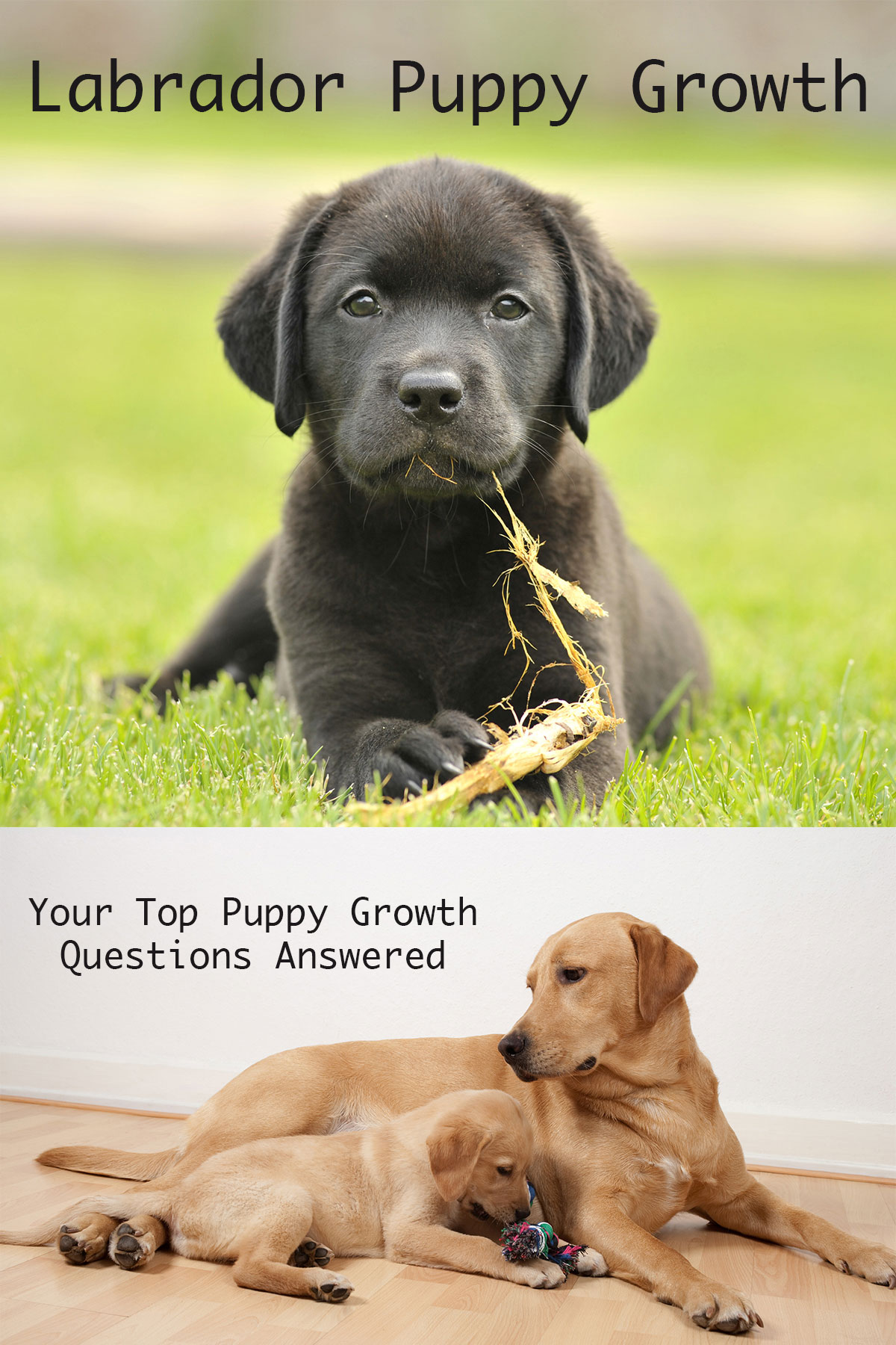 When Do Dogs Stop Growing? Labrador Puppy Growth Chart And FAQ