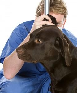 ear problems labradors