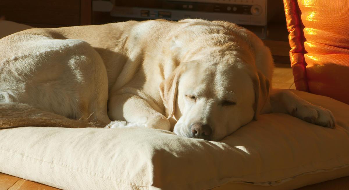 yellow lab puppy sleeping - photo #16