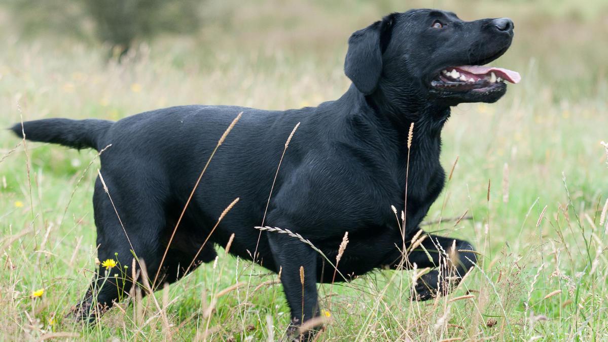 Ways To Tell Your Labrador Is Happy Through Body Language