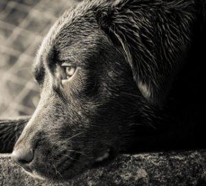 labrador-rescue-christmas