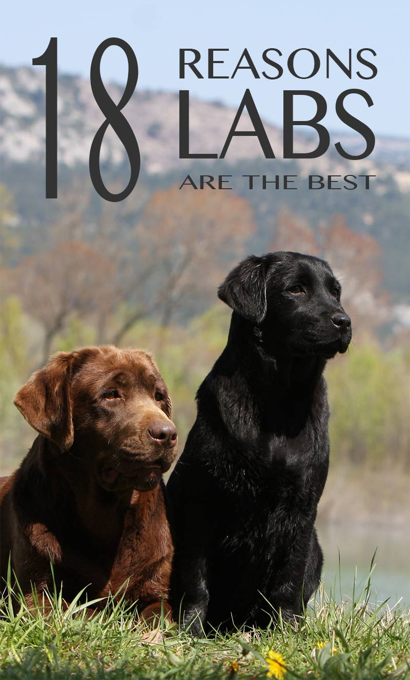18 reasons why Labradors make great pets