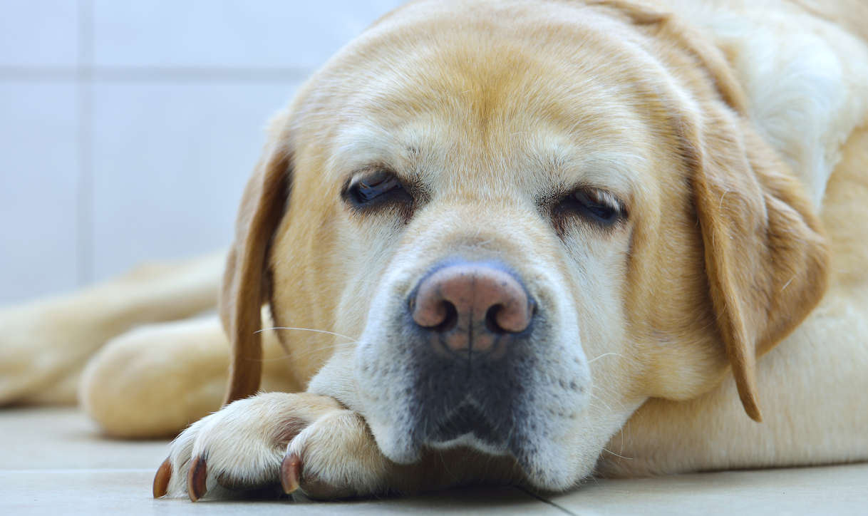 Best Dog Food  Year Old Golden Retriever