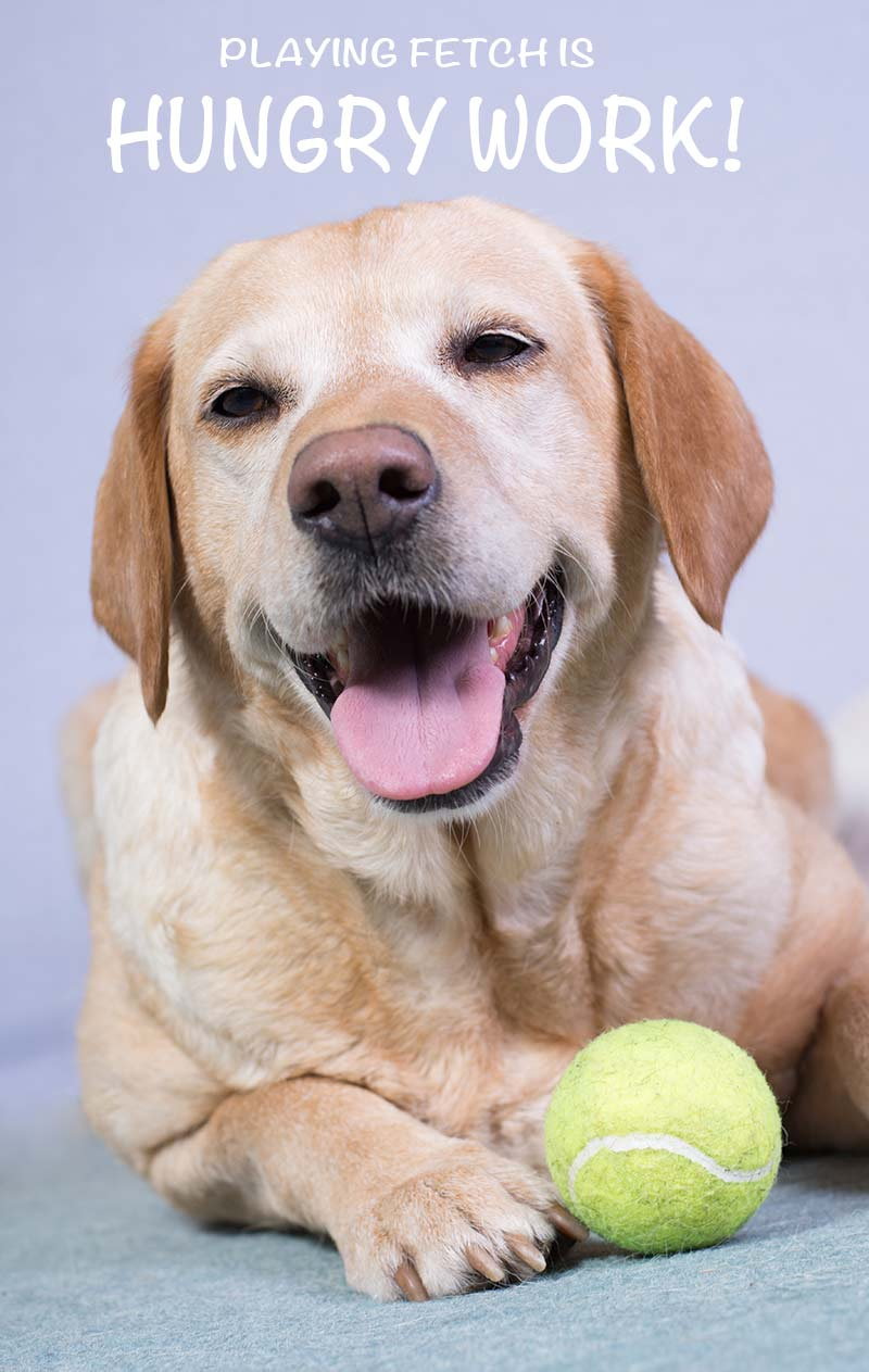 We all want to buy the best dog food for Labs. We help you decide what to feed your friend