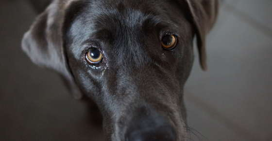 Should I have my Labrador neutered: The Evidence