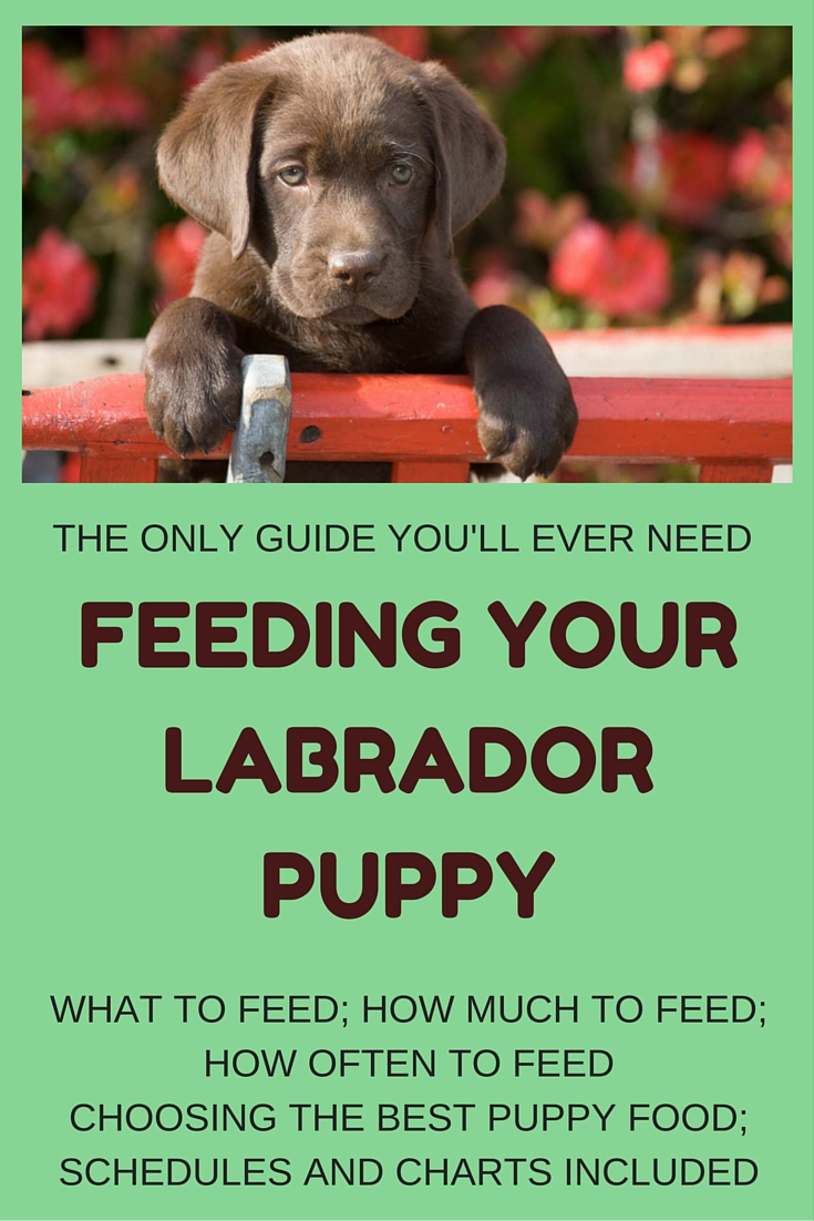 How Much Dog Food To Feed A Labrador