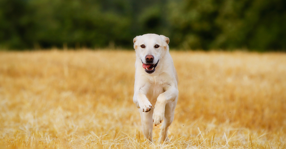 Yellow labrador retriever running towards the camera on a sunny day.