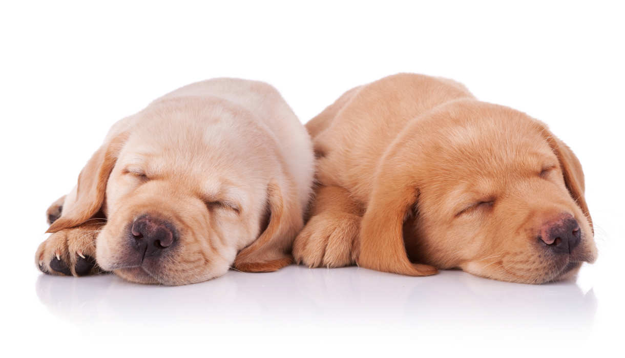 picture of two tired labrador retriever puppies, sleeping on white background