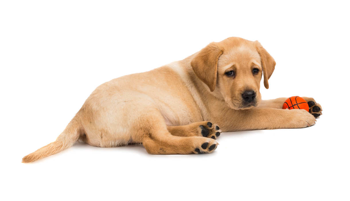 labrador puppy on a white background