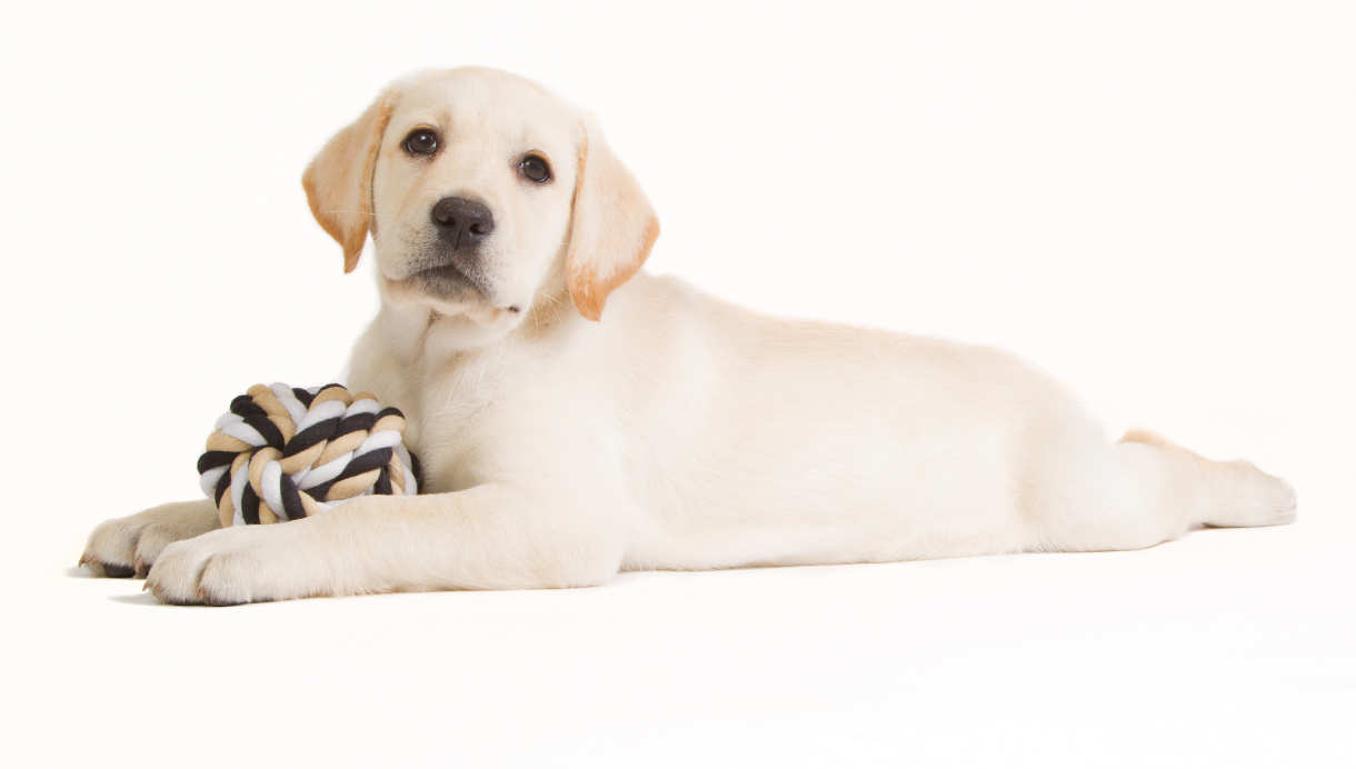 Shades Of Yellow Labradors