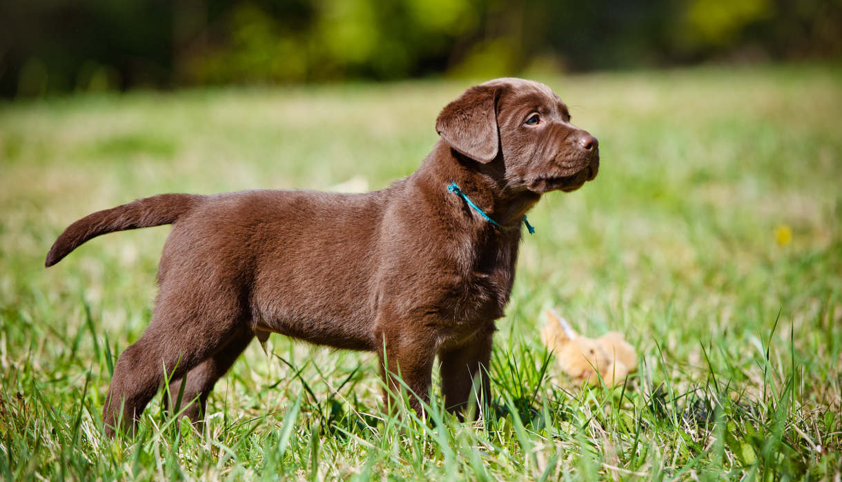 chocolate lab facts about your beautiful brown puppy