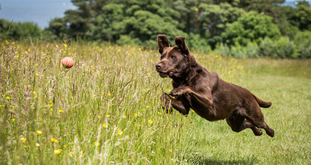 Are Labradors Good Running Dogs