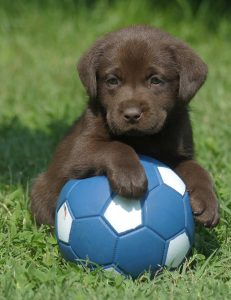 chocolate-labrador-puppy-ball