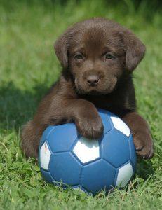 chocolate-labrador-puppy-ball