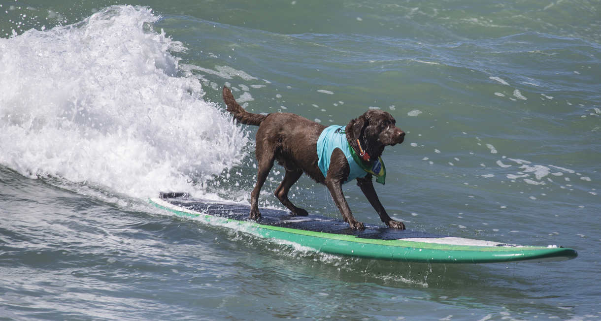 chocolate retriever surfing