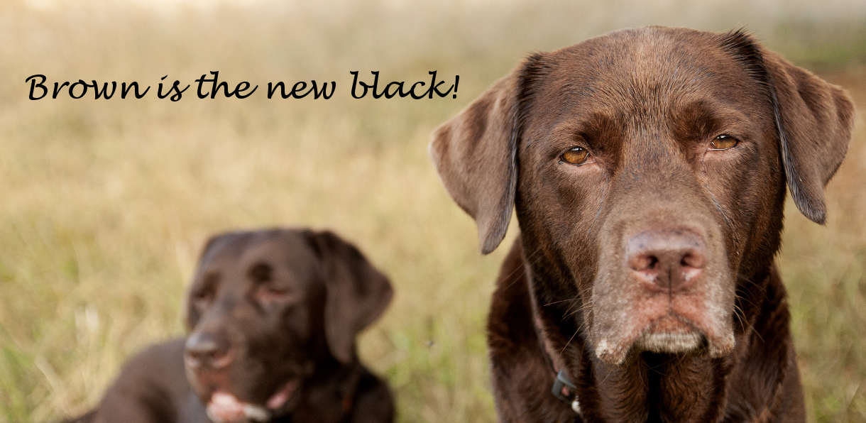 Two old chocolate labrador retrievers