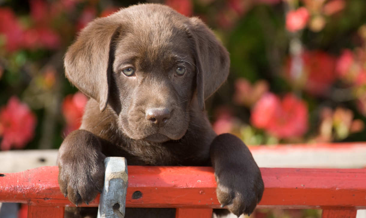 chocolate Labrador puppy waiting to go potty
