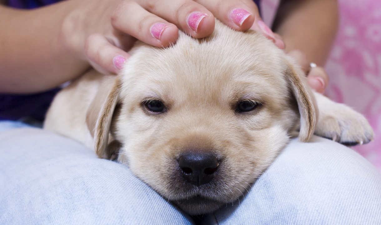 cuddle-yellow-labrador-puppy