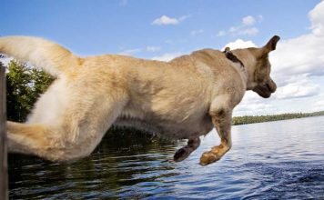 dock dogs and the sport of dock diving