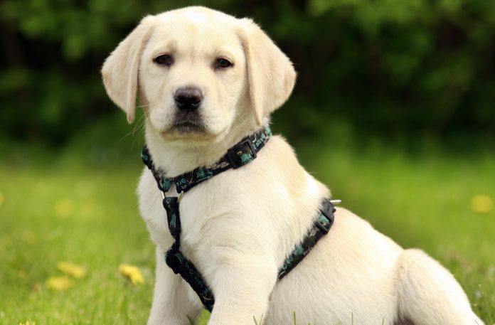 why your labrador puppy needs a harness. Black Bedroom Furniture Sets. Home Design Ideas