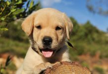 Why Your Labrador Puppy Needs A Harness The Labrador Site