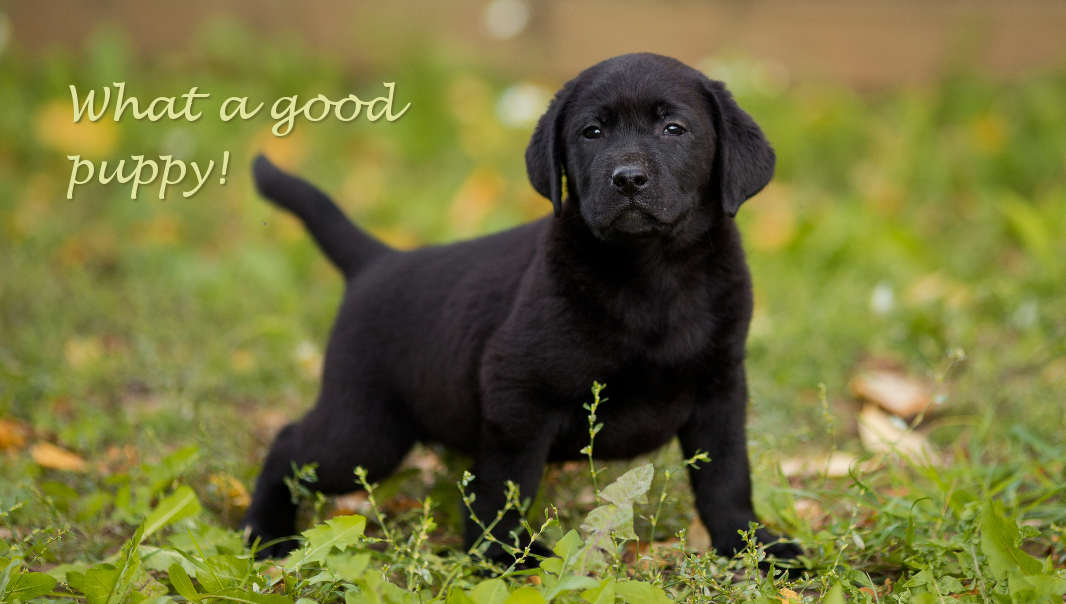 potty training black lab puppy