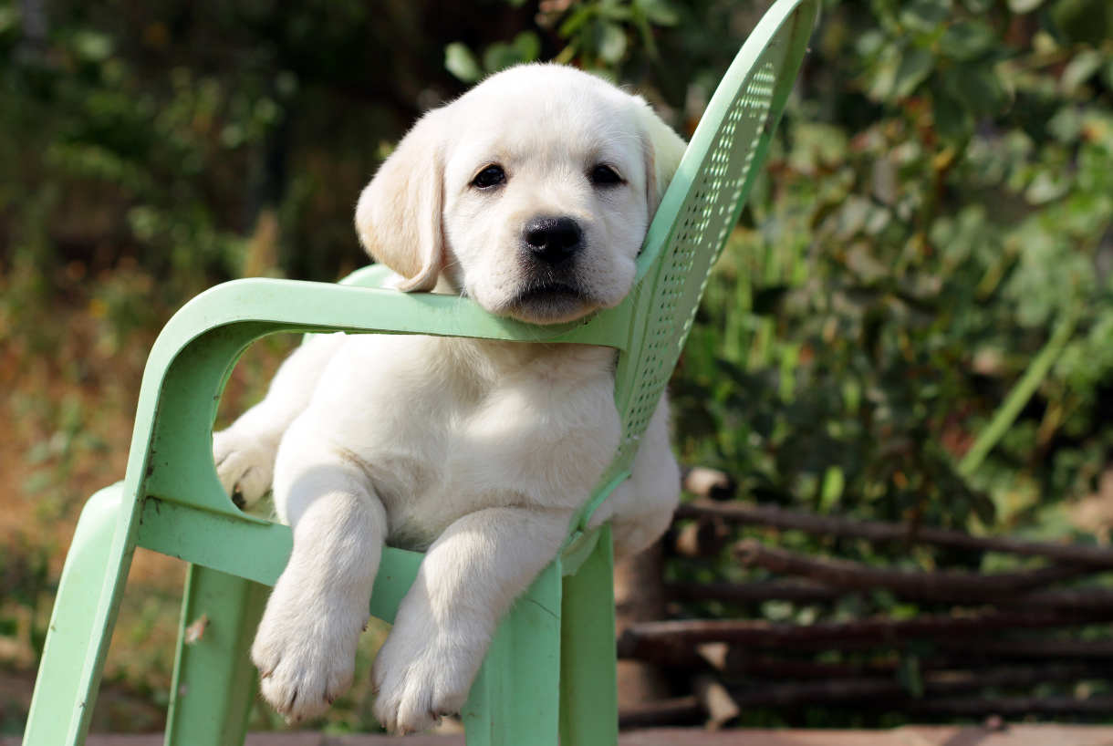 labrador puppy on a garden chair
